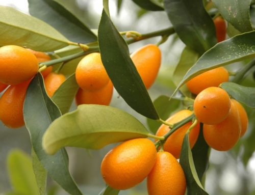 Crop of the Month: A Kumquat Coup